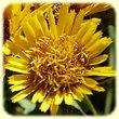 Inula spiraeifolia (Inule a feuilles de spiree) - Flore des Calanques - Herbier de Loulou