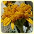 Jacobaea incana subsp. incana (Sénéçon blanchâtre) - Flore de montagne - L'herbier de Loulou