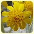 Jacobaea maritima (Cinéraire maritime) - Flore des Calanques - L`herbier de Loulou