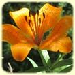 Lilium bulbiferum var. croceum (Lis orangé) - Flore de montagne - L'herbier de Loulou