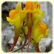 Linaria supina (Linaire couchee) - Flore des Calanques - Herbier de Loulou