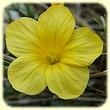 Linum campanulatum (Lin campanulé) - Les Randos de Loulou - Flore des Calanques