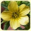 Linum strictum (Lin droit) - Les Randos de Loulou - Flore des Calanques