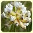 Lotus dorycnium (Dorycnie à cinq feuilles) - Flore des Calanques - Herbier de Loulou