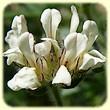 Lotus hirsutus (Dorycnie hirsute) - Flore des Calanques - Lherbier de Loulou