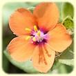 Lysimachia arvensis (Mouron des champs) - Flore des Calanques - L`herbier de Loulou