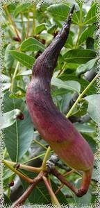 La galle du pistachier térébinthe
