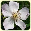 Rosa canina (glantier) - Flore des Calanques - Lherbier de Loulou