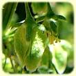 Rumex patientia (Epinard-oseille) - Flore des Calanques - Herbier de Loulou
