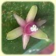 Ruscus aculeatus (Fragon) - Flore des Calanques - Herbier de Loulou