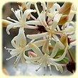 Smilax aspera (Salsepareille) - Flore des Calanques - Herbier de Loulou