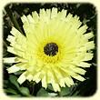 Urospermum dalechampii (Urosperme de Daléchamps) - Flore des Calanques - Lherbier de Loulou