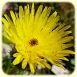 Urospermum picroides (Urosperme fausse picride) - Flore des Calanques - Lherbier de Loulou