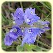 Veronica austriaca (Véronique d`Autriche) - Flore des Calanques - Herbier de Loulou